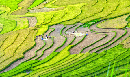 terracing: Yen Bai, Vietnam - September 24th, 2015: Beauty of harvest season terraced fields with terraced rice farmers have been harvesting. Scenes of peasant labor under rice fields we see human nature so small before In Yen Bai, Vietnam