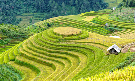 terracing: Yen Bai, Vietnam - September 24th, 2015: Group farmers go out of terraced fields levee inspection tour to prepare harvested fields in Mu Cang Chai, Yen Bai, Vietnam Editorial