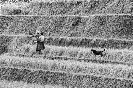 terracing: Yen Bai, Vietnam - September 25th, 2015: Woman ethnic minority children walking home dance followed the dog on the dike terracing in an autumn afternoon in Yen Bai, Vietnam
