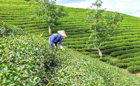 Dalat, Vietnam, July 3rd, 2015: Woman curved hills tea pickers on tea in the morning on the plateau Dalat, Vietnam Farmers picking tea on curved valley with idyllic scenery create vast tea fields in the highlands