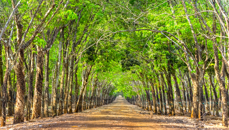 walking paths: Rubber tree so beautiful forest path with trees line up along roadsides rubber dirt road leading vào create small road down at beautiful horizon