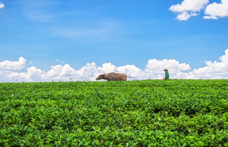 livelihoods: Lam Dong, Vietnam - May 14, 2015: A farmer was plowing furrows led Buffalo highland tea on an early morning in Di Linh, Lam Dong, Vietnam