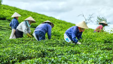 Dalat, Vietnam, July 3, 2015: A group of Farmers picking tea on a summer afternoon in Cau Dat tea plantation, Dalat, Vietnam