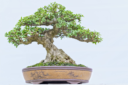 pinaceae: Green bonsai tree in a pot plant in the shape of the stem is shaped Artisans create beautiful art in nature