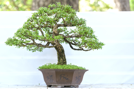 square root: Green bonsai tree in a pot plant in the shape of the stem is shaped Artisans create beautiful art in nature