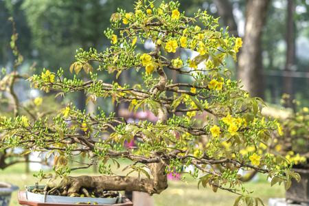Apricot bonsai tree with yellow blooming in spring Flowering branches curving create unique beauty of spring in Vietnam Stock Photo