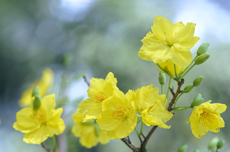 Apricot flowers blooming in Vietnam Lunar New Year with fragrant yellow petals blooming spring has come signaling, this is the symbolic flower for good luck in the New Years Day Stock Photo