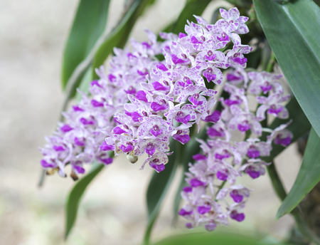 gigantea: Gigantea orchids bloom in Rhynchostylis spring flowers adorn the beauty of nature