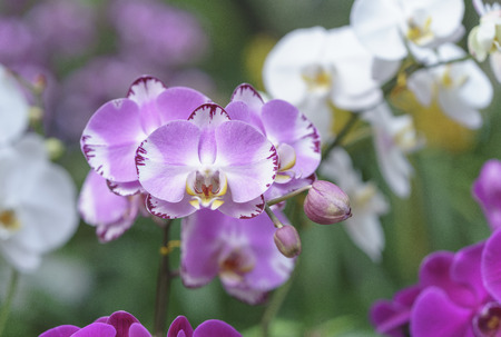 Phalaenopsis orchids bloom in spring flowers adorn the beauty of nature