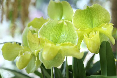 Paphiopedilum orchids bloom in spring flowers adorn the beauty of nature Stock Photo