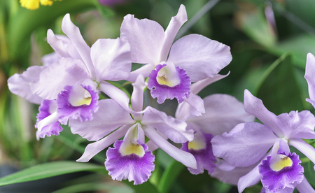 Dendrobium orchids flowers bloom in spring Aphyllum adorn the beauty of nature