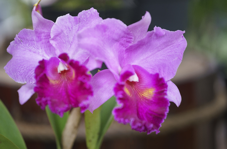 Flowers bloom in spring Cattleya Labiata adorn the beauty of nature