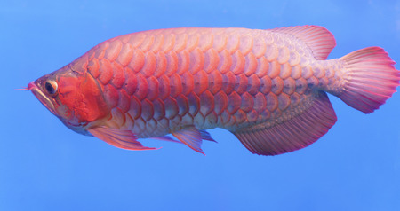 arowana: Arowana in aquarium, ornamental fish is Considered a symbol of luck, success of Asians in keeping add indoors