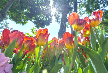 Flowerbed blooming tulips in the spring sunshine welcome