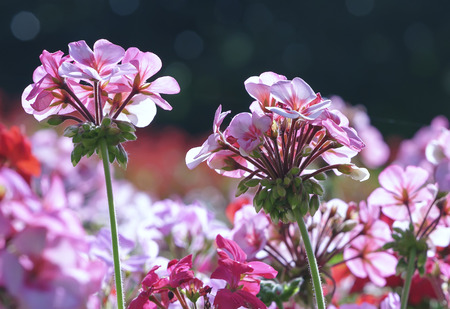 Geranium Flower blooming colorful pink, white, purple, in the spring garden weather greeted the beautiful new day