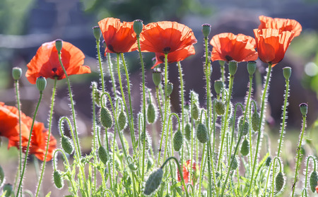 dalat: Wild Coquelicot flowers bloom in the beautiful afternoon sunshine