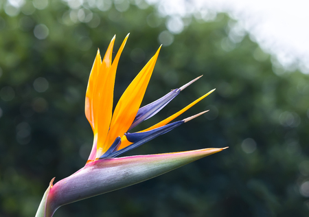 The flower of paradise flowers bloom in the garden. This is the flower that symbolizes flying birds that express freedom in life