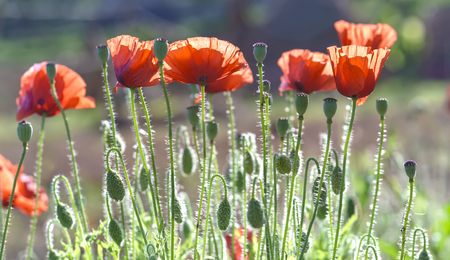 Wild Coquelicot flowers bloom in the beautiful afternoon sunshine