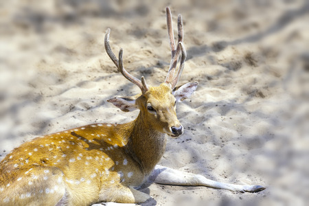 mule deer: Deers are relaxing on the sand in the zoo garden, looking at them innocently and peacefully.