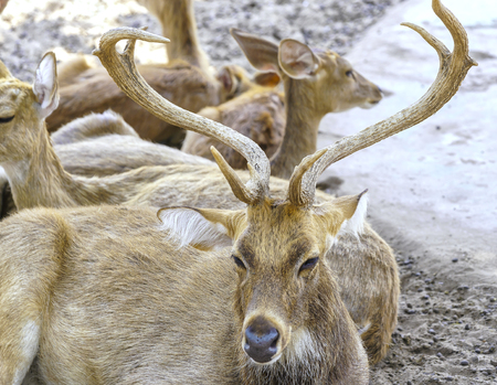Deers are relaxing on the sand in the zoo garden, looking at them innocently and peacefully.
