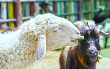 Goats and lambs get a meal in the zoo, watching them look cute