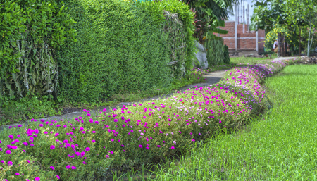 transplants: Portulaca grandiflora flower blooming on the landside rice fields are in transplants. This is the beauty of the idyllic, peaceful rural Vietnam Stock Photo