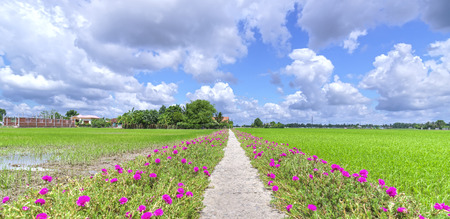 Portulaca grandiflora flower blooming on the landside rice fields are in transplants. This is the beauty of the idyllic, peaceful rural Vietnam Stock Photo