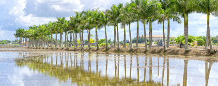 Cuban Royal Palm Trees planted along a rural road in the countryside