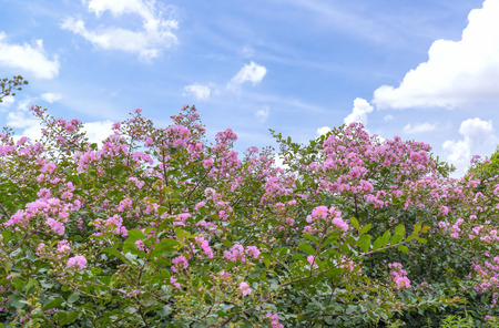true myrtle: Lagerstroemia indica flowers in bloom in the garden with pink flowers, this flower is usually blooms in summer in the tropics. Stock Photo