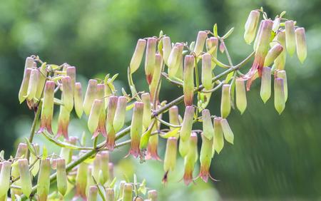 Bryophyllum pinnatum flowers bloom on the branches like the little lanterns shimmering in the sunshine