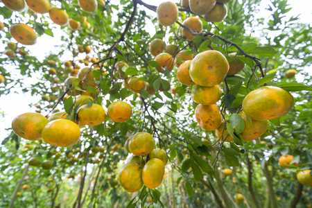 Closeup of ripe tangerines hanging from branches, fresh ripe fruits are pink in the harvest. This is a specialty fruit in the West of Vietnam