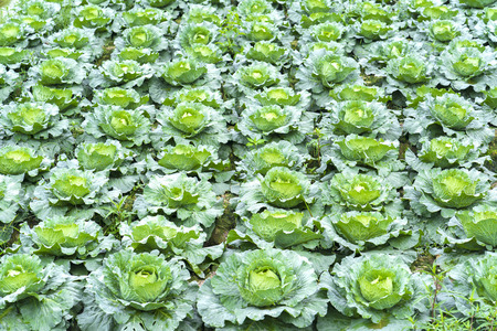 Cabbage garden with hundreds of trees covered in green fields beautiful Standard-Bild
