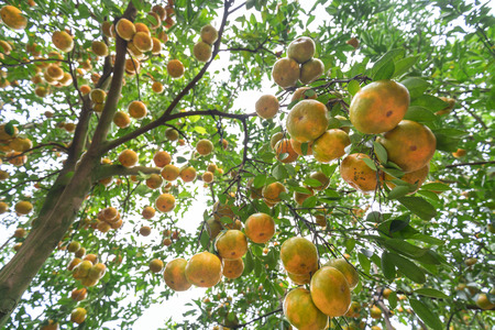 Ripe orchid on the tree with thousands of fresh ripe yellow fruits are in the harvest. This is a specialty fruit in the West of Vietnam