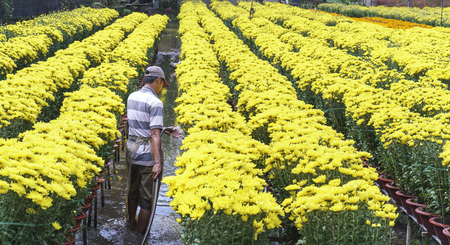 Dong Thap, Vietnam - January 18th, 2017: Farmer is caring for daisy flower garden by hydroponic method to prepare for Tet festival in Dong Thap, Vietnam.