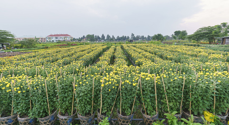 Chrysanthemum field in the harvest with thousands of yellow flowers hatched in beautiful spring weather Stock Photo