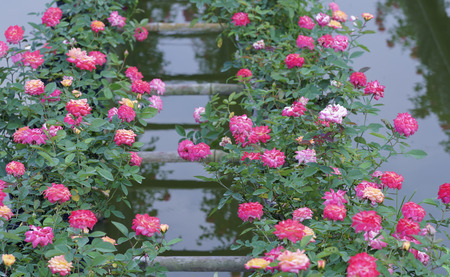 attribute: Rose garden is cultivated by the hydroponic method in the Mekong Delta Stock Photo