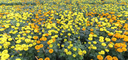 Marigold flower garden. They are focused on preparing for sale on the traditional Lunar New Year and are decorated in fun colorful homes