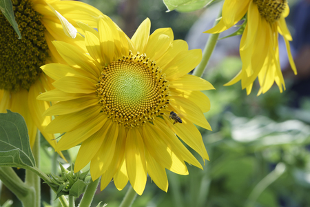 Sunflowers bloom in the early sun, attracting bees to warm spring weather Stock Photo