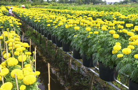 Dong Thap, Vietnam - January 18th, 2017: Farmer is caring for marigold flower garden to prepare for harvest festival for Tet holiday in Dong Thap, Vietnam.