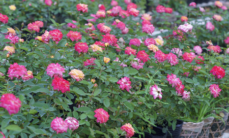 Rose garden is cultivated by the hydroponic method in the Mekong Delta Stock Photo