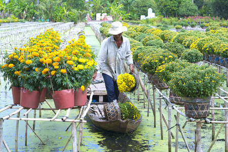 Dong Thap, Vietnam - January 18th, 2017: Farmers are harvesting daisy and marigold flower pots on boats for sale on Dong Thap, Vietnam