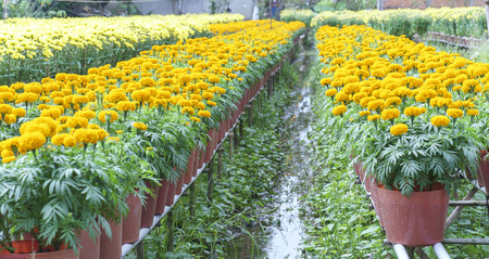 pot marigold: Marigold flower garden. They are focused on preparing for sale on the traditional Lunar New Year and are decorated in fun colorful homes