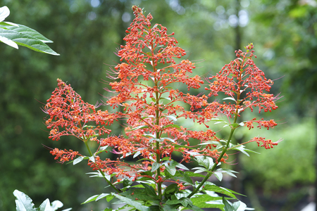 Clerodendrum paniculatum flowers blossoming in the garden, this is also a medicine to treat human eyes and menstruation. Stock Photo