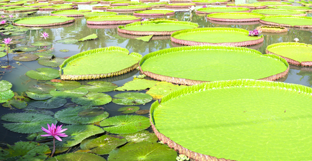 Victoria amazonica in the pond with giant green leaves cover the pond surface to create a beautiful landscape in nature Stock Photo - 81638741