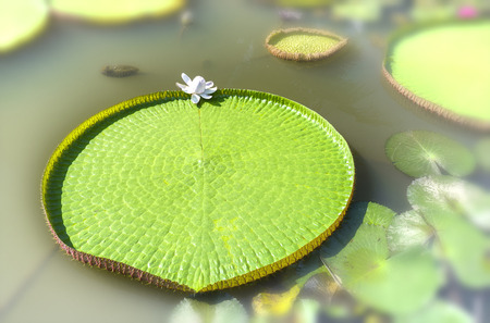 Close up of Victoria amazonica in the pond with giant green leaves cover of pond surface to create a beautiful landscape in nature