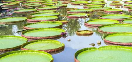 Victoria amazonica in the pond with giant green leaves cover the pond surface to create a beautiful landscape in nature Stock Photo