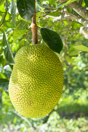 Fruit on the tree with ripe yellow fruit, this is nutritious food and is grown in many places in the tropics