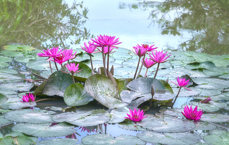 Water lily flower blooms in beautiful lagoon Stock Photo