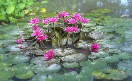 Water lily flower blooms in beautiful lagoon Standard-Bild