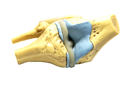 Knee Model � Functional Knee Joint Model, Life Size Anatomical Knee with Functional Ligaments Stock Photo